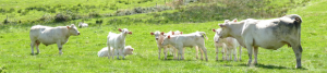 cropped-vaches.png