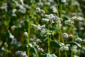 Les abeilles butinent par milliers les fleurs de sarrasin dans un joyeux bourdonnement.