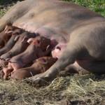 henriette et ses 11 petits